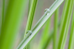 Rain drops on bamboo leaves Royalty Free Stock Image