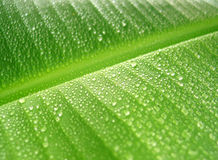 Rain drops on banana leaf. Detail of green banana leaf with water drops stock photography