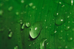 Rain drops on banana leaf. Close up of rain drops on a banana leaf Royalty Free Stock Images