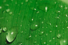 Rain drops on banana leaf. Close up of rain drops on a banana leaf Royalty Free Stock Photography
