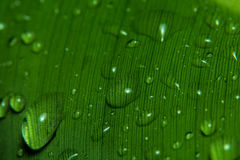 Rain drops on banana leaf. Close up of rain drops on a banana leaf Royalty Free Stock Photo