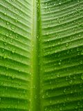 Rain drops on banana leaves Royalty Free Stock Images