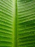 Rain drops on banana leaves Royalty Free Stock Images
