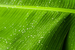 Rain drops  on banana tree  leafs. Stock Photos