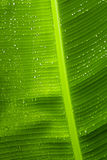 Rain drops  on banana tree  leafs. Royalty Free Stock Photos
