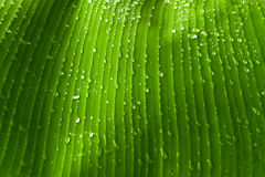 Rain drops  on banana tree  leafs. Stock Photography