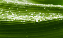 Rain drops  on banana tree  leafs. Royalty Free Stock Image