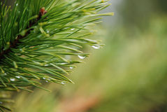 Rain drops on a branch of Crimean pine on a green Royalty Free Stock Photography