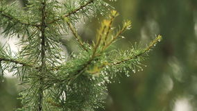 Rain drops on the branch of spruce.Close up. stock video footage