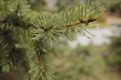 Rain drops on the branches of trees and trees Stock Photos