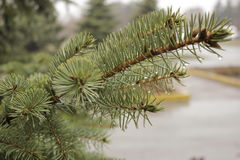 Rain drops on the branches of trees and trees Stock Photo