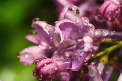 Rain drops of dew on the bud of a pink flower royalty free stock image