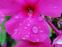 Rain drops of dew on the petal of a purple flower Stock Images