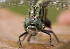 Rain drops in Dragonfly Stock Photos