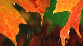 Rain drops dripping off end of fall colored leaf stock video