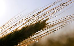 Rain drops on ear of barley. Stock Photography