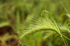 Rain drops on ear plant Royalty Free Stock Photos