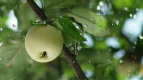 Rain drops fall on the apple and the tree leaves. Apple orchard. Ripe apple on a tree. Summer rain in the garden with apples. Apple tree. Apple tree. Juicy stock video footage
