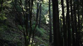 Rain Drops Fall Through The Forest. In the Pacific Northwest stock video footage