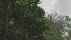 Rain drops fall on the green leaves of a tropical tree. During a light rain in a cloudy day with a gray sky. 4k footage. Thailand stock video