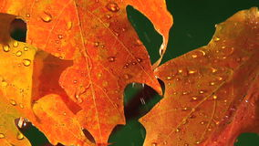Rain drops falling against colored leaves stock footage