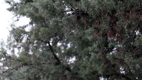 Rain Drops Falling From Cypress Branches (Juniper). Rain Drops On Branches Of Cypress (Juniper) Branches stock video footage