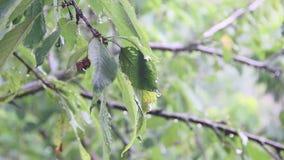 Rain drops falling on green leaves. Cherry tree in the rain stock video footage