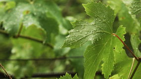 Rain drops falling on green leaves stock video footage