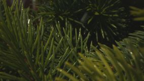 Rain Drops Falling on Pine Tree in the Forest Macro Shot with Laowa and Phantom Camera stock video footage