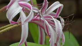 Rain drops falling on pink and white Lily flower plant stock video footage
