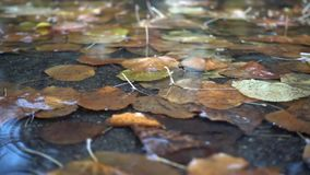 Rain drops. Falling at the puddle with autumn leaves stock video footage