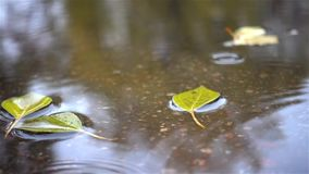 Rain drops. Falling at the puddle with autumn leaves stock footage