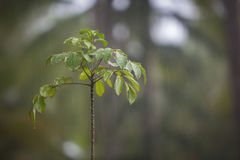 Rain drops falling on a sapling in a rainforest. Rain falling on a sapling in a rainforest Royalty Free Stock Image