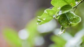 Rain drops falling from wet leaf stock video
