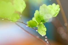 Rain Drops on Fern Royalty Free Stock Image