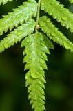 Rain drops on fern leaf Royalty Free Stock Photo