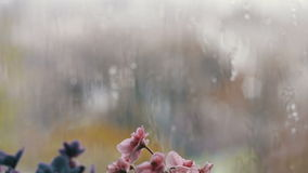 Rain Drops flow down the glass on the window. Beautiful flowers that bloom pink and purple on the windowsill stock video footage