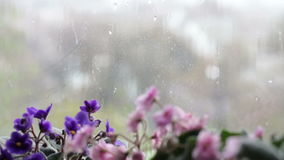 Rain Drops flow down the glass on the window. Beautiful flowers that bloom pink and purple on the windowsill stock footage