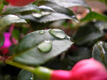 Rain Drops on Flower Leaves Royalty Free Stock Photography