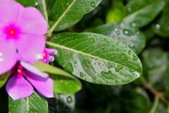 Rain drops on flower leaves Stock Image