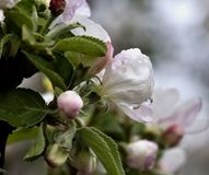 Rain drops on the flowers of Apple royalty free stock images