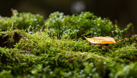 Rain drops on forest floor. Water drops on green moss and one yellow small abscissed leaf on forest floor in autumn after the rain Royalty Free Stock Photo
