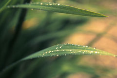 Rain drops on fresh green grass in the rays of the setting sun.G. Reen background with grass Royalty Free Stock Images