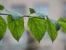 After the rain drops on the fresh green leaves. From garden tree stock images