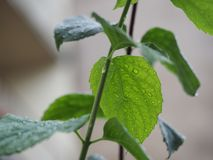 After the rain drops on the fresh green leaves. Natural blurry background royalty free stock photo