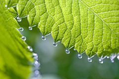 Rain-drops on the the fresh shoot. Small drops of dew on a green sheet Stock Image