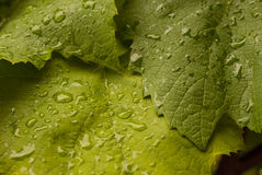Rain drops on green leaf Stock Photo