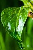 Rain drops on a green leaf Stock Image