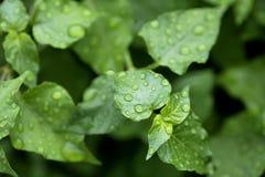 Rain drops on green leaf Stock Photos