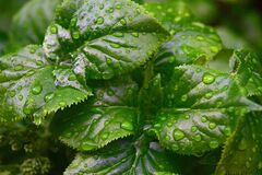Rain Drops on Green Leaf Plant Close Up Photography Royalty Free Stock Photo